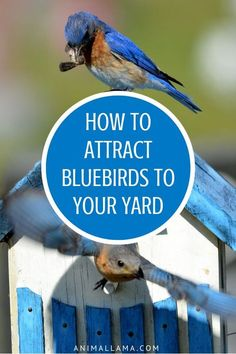 Find out how to attract bluebirds to your yard or garden and enjoy their lovely melodies year-round. If you provide bluebirds with precisely what they need to survive theyll be motivated to stay on your property indefinitely! Little Birds, Love Birds, Beautiful Birds, Design Thinking, Bird Houses Diy, Backyard Birds, Garden Birds, Hummingbird Garden, Garden Art