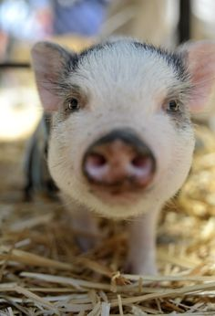 What an adorable pot bellied pig! Pet Pigs, Baby Pigs, Baby Animals, Cute Animals, Pot Belly Pigs, Teacup Pigs, Mini Pigs, Cute Piggies, Baby Ducks