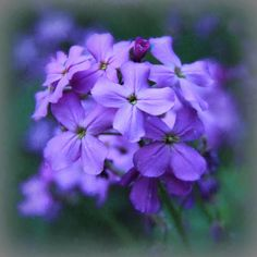 Photo Purple Phlox by Janette Baillie on 500px
