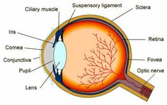 The eye is the organ of vision which receives light signals. It has a complex structure consisting of a transparent lens that focuses light on the retina in order for clear vision of images.