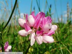 Herbář Wendys - Coronilla varia - čičorka pestrá Rose, Flowers, Plants, Crowns, Pink, Plant, Roses, Royal Icing Flowers, Flower
