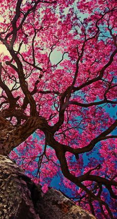 Reader X Crush - Chapter Beneath The Cherry Blossom Tree- Reader X Crush - Chapter Beneath The Cherry Blossom Tree - Wattpad- Cherry Blossom Tree, Blossom Trees, Japanese Cherry Blossoms, Cherry Tree, Image Nature, Pink Trees, Beautiful Nature Wallpaper, Background Vintage, Girl Background