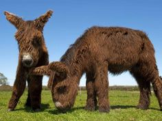 Resembling a cross between Chewbacca and a woolly mammoth, the little known Baudet de Poitou dates back to medieval times when they were bred with horses to produce mules. These two rare shaggy donkeys are part of a herd of seven found on a farm in Lymington in the New Forest, UK.
