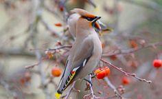 Vogelfreunde aufgepasst! Wegen einer Nahrungsmittelknappheit in ihrer eigentlichen Heimat im hohen Norden ziehen gerade Schwärme des exotisch aussehenden Seidenschwanzes nach Deutschland. Wo Sie ihn erspähen können, erfahren Sie bei uns.