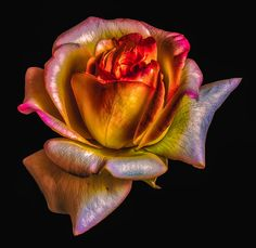 September Rose 01 (re-ed,) by Olaf Holland on 500px
