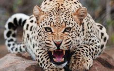 Advierten que jaguar se encuentra en peligro de extinción en Latinoamérica