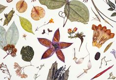 """Details from the 18 ft. """"Herbarium Specimen Painting"""" by Rachel Pedder-Smith. The work includes at least one specimen of each of the 506 flowering plant families — more than 700 images. http://www.telegraph.co.uk/gardening/9176554/Herbarium-Specimen-Painting-at-Kew-Gardens.html"""