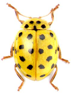 Coccinellidae - Ladybird Psyllobora vigintiduopunctata
