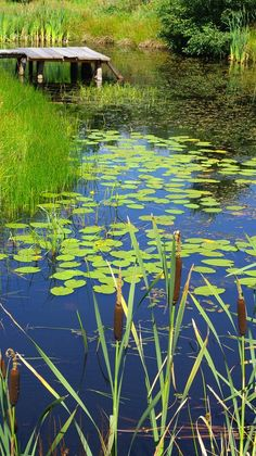 wall mural scenery with pond and water plants murals On Golden Pond, Carpe Koi, Pond Life, Lily Pond, All Nature, Water Garden, Water Plants, Monet, Nature Pictures