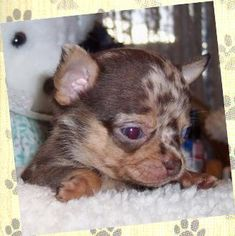 Chihuahua Breeders, Chihuahua For Sale, Chihuahuas, Blue Merle Chihuahua, Teacup Chihuahua, Chihuahua Information, Husky Corgi, Miniature Pinscher, Cute Animal Pictures