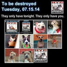 TO BE DESTROYED - 07/15/14 PITTIES ARE IN DANGER AGAIN. THERE ARE FAR TOO MANY TODAY!!! ALL THESE DOGS COUNT ON US!!! LET'S NOT LET THEM DOWN!!! PLEASE OPEN YOUR HEARTS AND PLEDGE, TAKE THEM HOME, BUT BE QUICK AS TIME IS TICKING AWAY. PLEASE BE QUICK WHEN MAKING UP YOUR MIND!!!  https://www.facebook.com/media/set/?set=a.611290788883804.1073741851.152876678058553&type=3