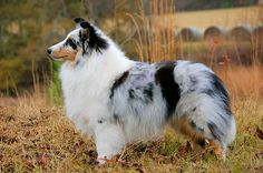 Goodtime Shelties ~ Home of beautiful Shetland Sheepdogs bred to win hearts and championships