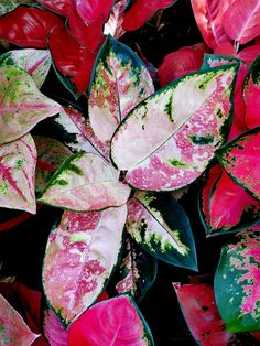 Big Leaf Plants, Colorful Plants, Unusual Plants, Cool Plants, Tropical Plants, Trees To Plant, Bonsai Orange Tree, Chinese Evergreen Plant, Home Garden Design