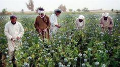 """Afganistan'daki Haşhaş Üretim Artışı Küresel Risk Doğuracak"""""""