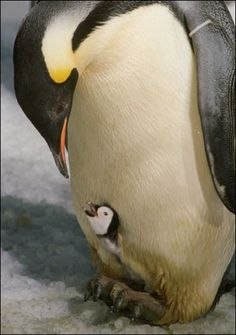 Baby penguin with her mom! We wonder if they read night time stories together.