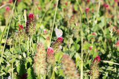 Trifoi roșu Crimson, plantă meliferă și medicinală , excelent îngrășământ verde utilizat în rotația culturii Fruit, Sun, Green, Plant, Lawn And Garden