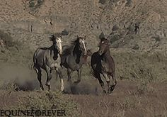 Discover & share this Wild Horse GIF with everyone you know. GIPHY is how you search, share, discover, and create GIFs. Most Beautiful Animals, Beautiful Horses, Gifs, Wilde Mustangs, Horse Videos, All The Pretty Horses, Horse Pictures, Horse Photography, Wild Horses