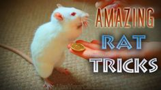 Five Talented Rats Performing Tricks.  This is one of the cutest things I've ever seen!