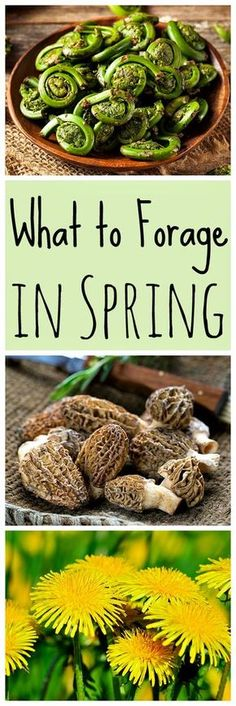 Spring is a great time for foraging! Learn what to forage in spring with this list of 20 edible and medicinal plants and fungi. Spring foraging is fun! #foraging #springforaging