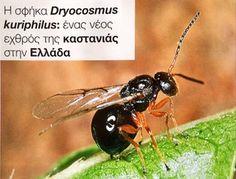 Η σφήκα Dryocosmus kuriphilus: ένας νέος εχθρός της καστανιάς στηνΕλλάδα.