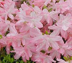 Rhododendron  'Ruth May'