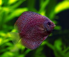 Snakeskin Discus | The Most Beautiful Fish In The World