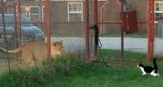 Brave/Insane Cat Squares Up To Lion