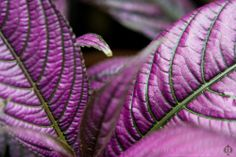Strobilanthes dyerianus (Persian shield) - License Botanical Images & Stock Photography  from http://archive.chrisridley.co.uk - This image is Copyright Chris Ridley.