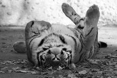 Tiger. :)