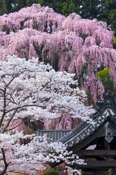 'Sakura' (cherry blossoms) at Fukuju Temple, Miharu, Fukushima, Japan Beautiful World, Beautiful Gardens, Beautiful Places, Beautiful Pictures, Beautiful Scenery, Amazing Places, Photo Bretagne, Sakura Cherry Blossom, Cherry Blossoms