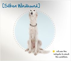 The Silken Windhound is a relatively new breed of sighthound, having first been developed in 1987 by a Kentucky Borzoi and Deerhound breeder, Francie Stull. Stull was attempting to create a smaller sighthound with the same athleticism and elegance of the larger sighthounds, with a wonderful temperament, long coat and all-around good health. She combined champion Borzois, small Whippet-based Lurchers and purebred Whippets, and the Silken Windhound was the result.
