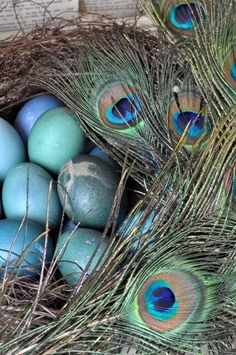 Peacock eggs and some eye-feathers in the nest