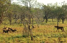 Cheetahs seize the right moment to make a quick getaway from the Zululand Rhino Reserve's new wild dogs.