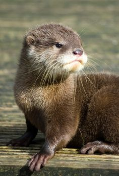 A male otter is a meowter, a female is a queen, and a baby is a pup. Description from pinterest.com. I searched for this on bing.com/images