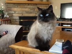 Beautiful Seal Point Ragdoll named Max.  I'm in love with this breed!