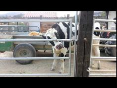 This Cow Came Across a Locked Gate and Did the Most Ingenious Thing (VIDEO) | One Green Planet