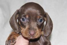Dachshund 2 Dachshund Puppies Dachshund Puppies For Sale