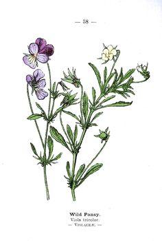Botanical: Wild-pansies. Wayside and Woodland 1895 Plate 58