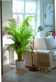 Areca palm: Removes indoor chemical toxins