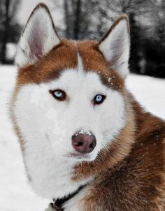 Beautiful blue-eyed Red & White Siberian Husky in the snow.