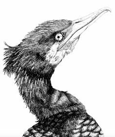 cormorant. illustration. drawing. kormoran. zeichnung. all rights by von ERIKA.