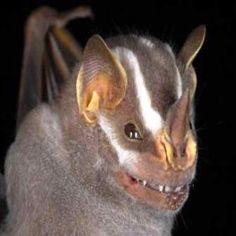 Great Striped Nose bat (Guatemala) Vampyrodes caraccioli hip hop instrumentals updated daily => http://www.beatzbylekz.ca