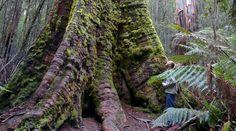 Defendamos los bosques primarios de Tasmania. Firma!