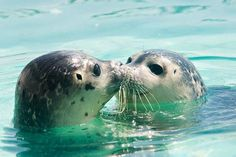 Two seals swimming together in the water nuzzling noses.