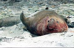 A Happy Elephant Seal Photograph