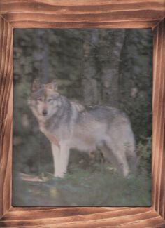 Smile for the camera This wolf is almost posing  w/free shipping in the continental USA by OldTimeCountryCrafts, $9.50