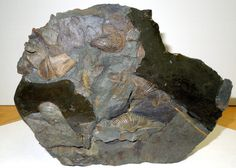 MUCROSPIRITER- Ancient Reminiscentce Series IV - 400 million yr fossil (ITHAC, NY) http://conta.cc/1bXaCZb