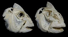 Crâne de Dorade Royale / Gilt-head Bream Skull (Sparus aurata)