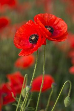 Flowers and Gardens Watercolor Poppies, Red Poppies, Flowers Nature, Wild Flowers, Poppy Flowers, Remembrance Day Art, Poppy Photography, Blossom Garden, Flower Pictures