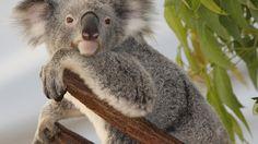 A Koala in Australia!